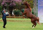 Cavallo arabo, a Palermo la tappa del IX concorso internazionale